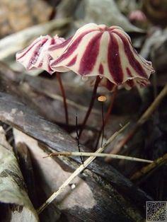 Fungi are so pretty Mushroom Art, Mushroom Fungi, Mushroom Hunting, Wild Mushrooms, Stuffed Mushrooms, Mushroom Pictures, Pictures Of Mushrooms, Bolet, Mini Terrarium