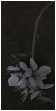 "Flowers in Neutral Moment-2015 "" Almond( Prunus dulcis ) "" Archival pigment print Printed on cotton rag fine art paper Photo by Soichi Oshika"