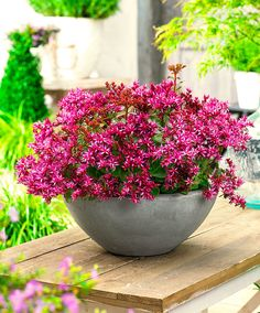 Sedum Censation® 'For Your Eyes Only'