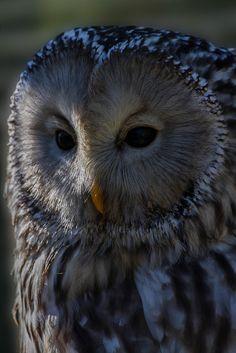 Source: Flickr / ianev  #ural owl