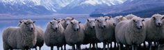 more lovely sheep