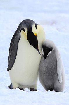 Emperor Penguin (Aptenodytes forsteri) parent with chick, Snow Hill Island, Antarctica