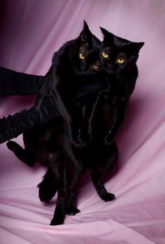 black cats by SuzyR