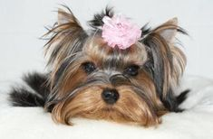 I really enjoy these kinds of images - cheers for revealing - Yorkshire Terrier Cute Puppies, Cute Dogs, Dogs And Puppies, Doggies, Animals And Pets, Baby Animals, Cute Animals, Yorky, Terrier Breeds