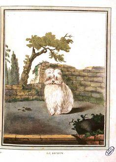 Animal - Buffon - Dog - Le Bichon