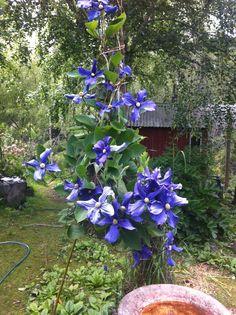 Clematis Durandii Helen 's garden2013