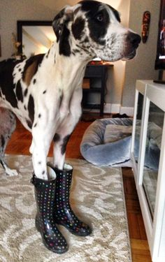 #Great #Dane in galoshes.