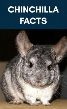 Here are chinchilla facts. Here we cover everything from hygiene to lifespan and more! If you love chinchillas, here is good information for you. Guinea Pig Toys, Guinea Pig Care, Guinea Pigs, Chinchilla Facts, Chinchilla Care, Dragon Horse, Adoptable Beagle, Dog Agility, Cute Baby Animals