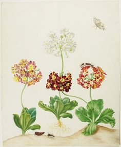 Watercolor of mountain cowslip or bear's ear (Primula pubescens) and Black Arches or Nun Moth (Lumantria monacha). Maria Sibylla Merian: Leningrader Aquarelle. Leipzig, 1974. Bd.1. Taf.5