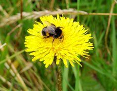 bumble bee dandelion - Sök på Google
