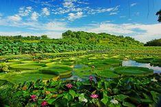 Lotus, Baihe, Tainan #Taiwan  台南 白河 蓮花