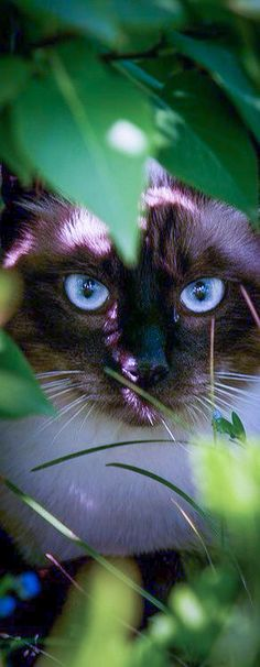 Looks so much like my Siamese - Samantha.