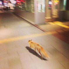 札幌駅前でキタキツネ