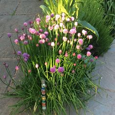 Chives in garden spring 2015