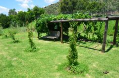trellising grapes at home   Catawba and Hannepoort grape vines.