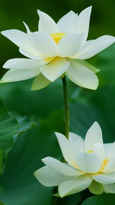 Lotus ハス. La flor de loto, es la expresión más alta de la belleza en Oriente.