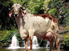 Miniature Breeds Of Cattle That Are Perfect For Small Farms Farm Animals, Animals And Pets, Cute Animals, Cebu, Gado Leiteiro, Brahma Bull, Cow Cat, Bucking Bulls, Bull Cow