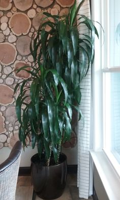 This indoor plant is a Dracaena Lisa Cane, installed and cared for by Charlotte Plantscapes Inc. This is a fantastic tropical plant to add to your office, business, building lobby or interior. The Dracaena Lisa Cane will do quite well under artificial lighting only. Like this indoor tropical plant? In the Charlotte NC area you can call 704-529-1399 or visit http://charlotteplantscapes.com/ to send an email.  #charlotteplantscapes #charlottenc #indoor #plants #flowers #office #business #lobby