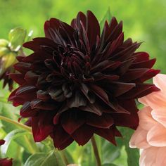 "Dahlia Rip City - Longfield Gardens - 5 to 6"" blossoms that have a mix of standard and quilled petals. The velvety flowers are almost black in the center, softening to maroon and wine-red at the outer edges. A breathtaking cut flower."