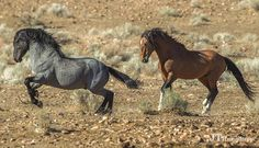 Hmmmm do horses play hopscotch? Are there lines in the sand? Blue and Socks, playing a game or practicing their dressage moves? Free Horses, Wild Horses, Horse Markings, Baby Sea Turtles, Types Of Horses, Wild Spirit, Wild Mustangs, Draft Horses, Horse Pictures