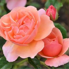 """Douglas Gandy™, This lovely apricot shrub rose produces quantities of beautiful, semi-double, rich apricot blooms in clusters on an outstanding bush that is vigorous, upright growing and well clothed in rich green foliage 4"""" Bloom, 24+ Petals, Continual Blooming"""