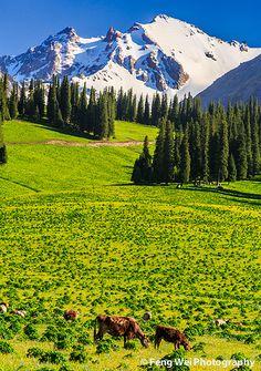 summer, Nalati grasslands, Xinjiang province, China (snow-covered Tian Shan mountain in the background)