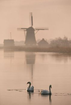 Swans and windmill, Texel, Netherlands by Danita Delimont on artflakes