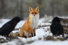 Red Fox and Ravens