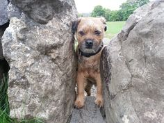Cutest Border Terrier EVER