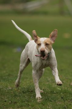 Hudson is an English Pointer & Vizsla Mix up for adoption through Illinois Birddog Rescue, Inc in Addison, IL! Check out his page for more details!