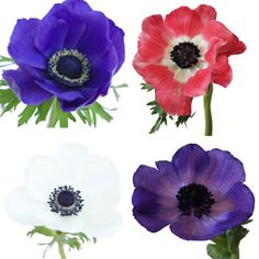 FiftyFlowers.com - Assorted Fresh Cut Anemones October to April Delivery