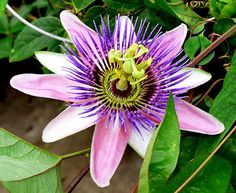 Passion Flower. These grow on a vine outside my dad's house. Can't wait for them to bloom.