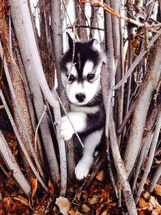 Lily the Siberian #husky puppy