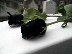 Arti Bunga Mawar Hitam