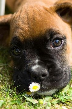 Izzy the boxer puppy - Dale Lord http://www.flickr.com/... ___ Visit our website now!