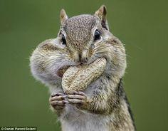 Chipmunks are brilliant. Feeding time: A hungry chipmunk is chock full o'nuts in western Ottawa, Canada