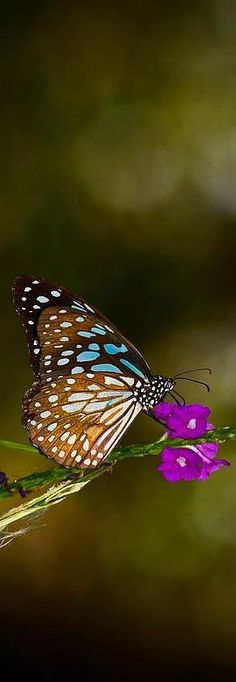 Blue Tiger (Tirumala limniace) is a butterfly found in India #kyle Dsouza -- 500px.com