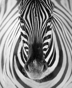 ILLUSIONPhotography by (Sonalini Khetrapal). This lone zebra in the Namutoni P.ILLUSIONPhotography by (Sonalini Khetrapal). This lone zebra in the Namutoni Plains of Etosha Nat - National Geographic Animals, National Geographic Photography, Wildlife Photography, Animal Photography, Amazing Photography, Portrait Photography, Wild Life, Illusion Photos, Illusion Photography