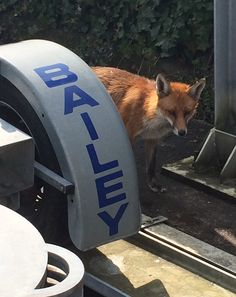 'Mr Fox' -the Bailey resident fox checking out the University of Bath Towing Stability Rig.