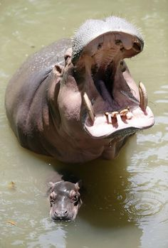 Big-mouthed Hippo