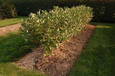 Aronia prunifolia 'Viking' hedge @Megan Ward Horton by Jonathan Landsman, via Flickr