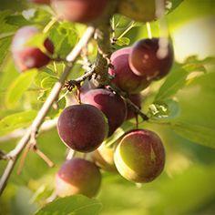 Opata Cherry-Plum CHUM - Hybrid shrub producing aromatic and delicious fruit - Hardy Fruit Tree Nursery Plum Tree, Cherry Tree, Fruit Tree Nursery, Hardy Plants, Exotic Fruit, Prunus, Delicious Fruit, Fruit Garden, Growing Tree