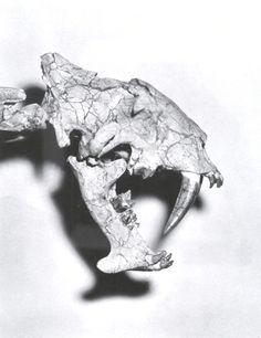 The skull of Hoplophoneus mentalis, showing the sabre-like teeth. (File:Holophoneusskull1.jpg)
