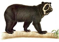 spectacled bear - Google Search