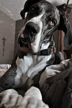great dane watching and waiting...