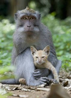 A long tailed macaque monkey adopts a kitten. A young long tailed macaque monkey has been spotted in a forest protectively nuzzling and grooming a ginger kitten and making sure no harm came to it. Animals And Pets, Baby Animals, Funny Animals, Cute Animals, Unusual Animals, Animals Beautiful, Beautiful Cats, Unlikely Animal Friends, Unusual Animal Friendships