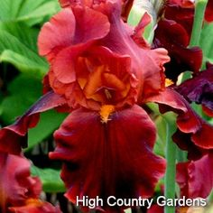It is especially hard to find the red iris