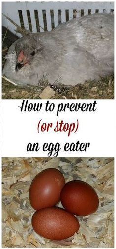 How to prevent (or stop) an egg eating chicken.