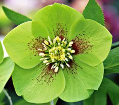 Helleborus Winter Thrillers™ 'Green Gambler' has apple-green blossoms variously flecked, veined, or edged with maroon, 'Green Gambler' sets off the color of any of its siblings. Each bloom measures 3in across; double blossoms are an occasional surprise. The plants are vigorous, too, unlike most green-flowered varieties.