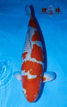Carpe Koi, Japanese Koi, Kohaku, Koi Carp, Fish, Pets, Club, Pisces, Animals And Pets